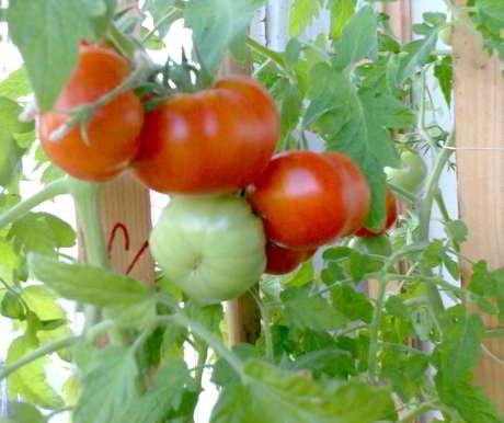 Закуска на подоконнике - помидоры