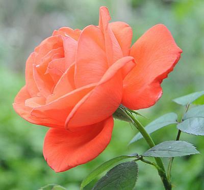 Как использовать лепестки роз